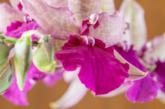 Орхидея Одонтония
