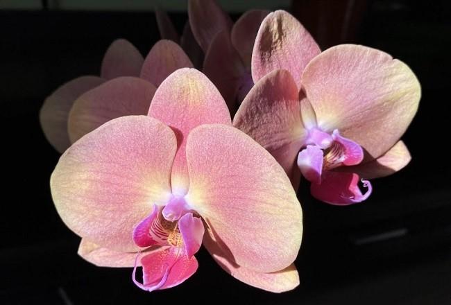 Phalaenopsis Golden Apple