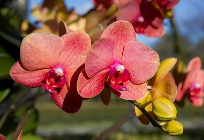 Цветение фаленопсиса Сурф Сонг