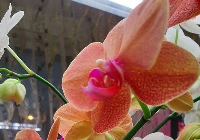 Ярко оранжевая орхидея