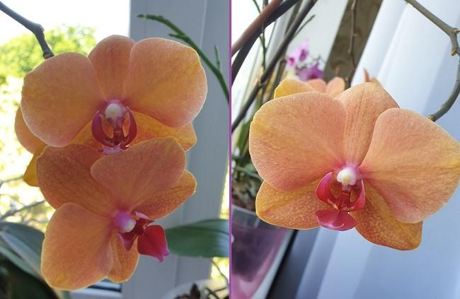 Домашнее цветение Сурф Сонг