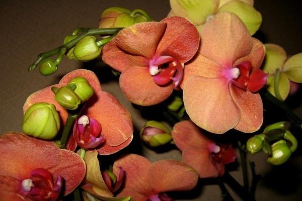 Пышное цветение фаленопсиса