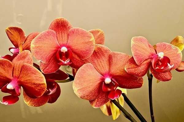 Яркая орхидея Сурф Сонг